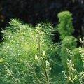 <b>Aconitum</b> <b>lamarckii</b>, Foeniculum vulgare.