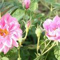 dans les champs de roses
