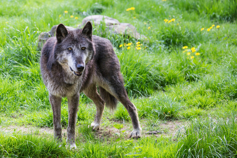 new-0007_loups du canada-H3A923801
