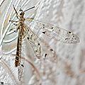 Fourmilion longicorne • Distoleon tetragrammicus • famille Myrmeleontidae
