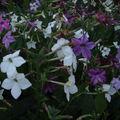 2008 08 24 Des fleurs de mon tabac d'ornement