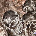 chiots nés dans la nuit du 31 au 1 er janvier 2015