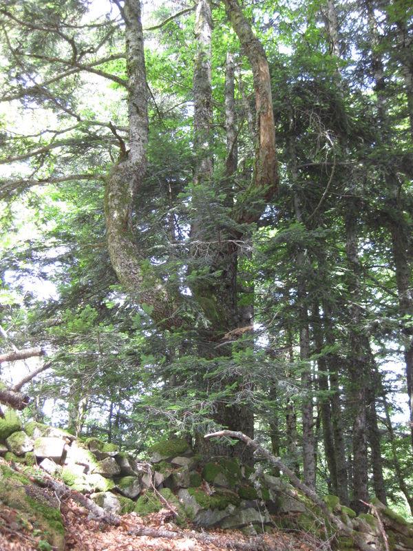 Mystères d'arbres 30.