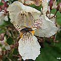 Mouche sur fleur (Charolles, juillet 2014)