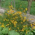 2008 09 10 Mes Coreopsis grandiflora 'Domino' en fleurs