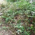 Jeune cèpe noir élancé près d'un sentier...
