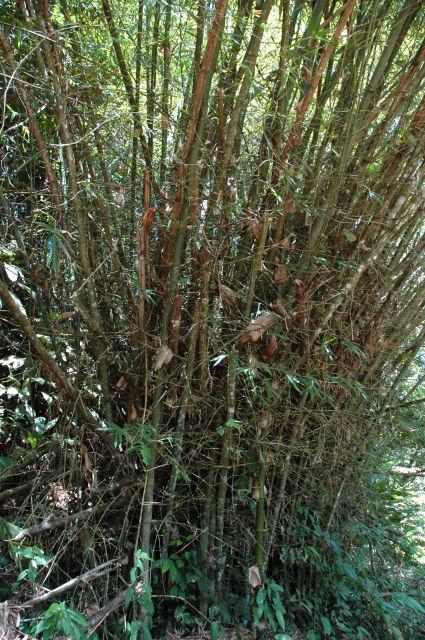 Bambous gros comme des arbres