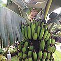 De l'art de faire mûrir les bananes