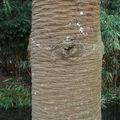 Araucaria araucana • Désespoir des singes • F. des Araucariaceae