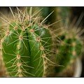 Le cactus...