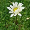 2008 06 02 Une marguerite sauvage en fleur