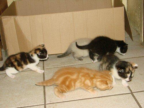 2008 04 04 Les 5 chatons de Papillon à 3 semaines et 1 jour en dehors du carton pour la première fois