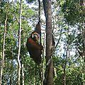 Réintroduction et hybridation : cas d'espèce(s) chez les orangs-outans de <b>Bornéo</b>