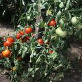 2009 07 25 Tomates Maskarena