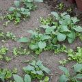 2009 05 02 Salades et Radis sous serre