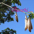 Silk cotton tree - ceiba pentandra