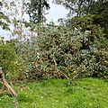 Eucalyptus preissiana jardin <b>botanique</b> de la Villa Thuret