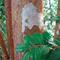 Myrte musquée • Myrtus ugnii • Famille des Myrtaceae