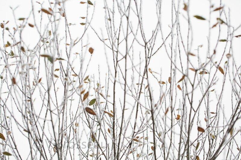 arbre-givre-15-08
