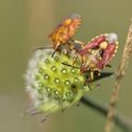 L'heure des punaises jolies * The time of the beautiful shield-bug