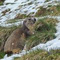 Marmotte - hautes alpes