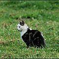 Chat (Felis)