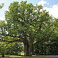 Le chêne LOUIS XIV appelé aussi le