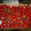 2009 07 25 Mes 6 kg de tomates ramassées aujourd'hui