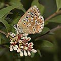 polyommatus_bellargus_fem