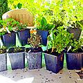 Merci à mon partenaire Pépinière AROM'ANTIQUE <b>plantes</b> <b>aromatiques</b> bio, des légumes anciens en godets et en pots.