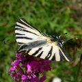 papillon en été