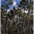 Le pin des landes