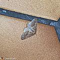 Des papillons aux mœurs nocturnes et hivernales