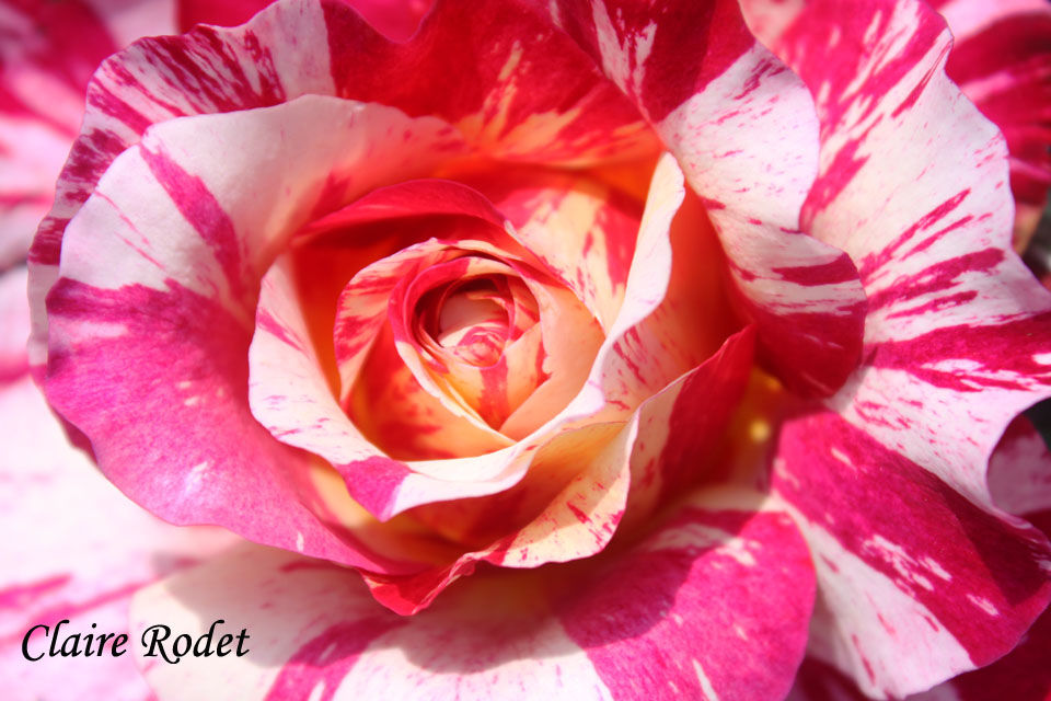 Rose à peindre