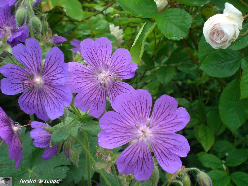 Géraniums vivaces sp.