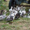 2009 09 01 Les canards avec leur mère