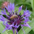 2008 05 30 Une abeille qui butine une fleur de centaurée des montagnes