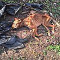 chien attaché au milieu des champs ... mort de faim, soif et solitude ... dans l'aisne mars 2017