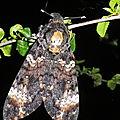 Acherontia atropos ( sphynx tete de mort )