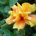 8876-Hibiscus-rosa-sinensis