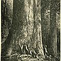 <b>séquoia</b> géant