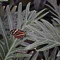 hunawihr papillon cigogne (109)