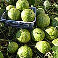 27 janvier - pastèque citre ou melon d'eau....surtout ne pas s'en priver