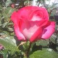 Quelle belle rose de leur jardin