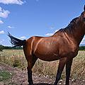 La prestigieuse race de <b>chevaux</b> pur-sang arabes.