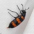 Mylabre inconstant • Mylabris variabilis • Famille des Meloidae