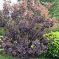 Cotinus coggygria, aussi appelé