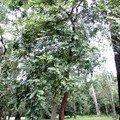 Le copaiba - oléorésine