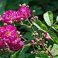 Rosa 'sibelius'