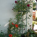 le rosier grimpant 'Red Parfum'